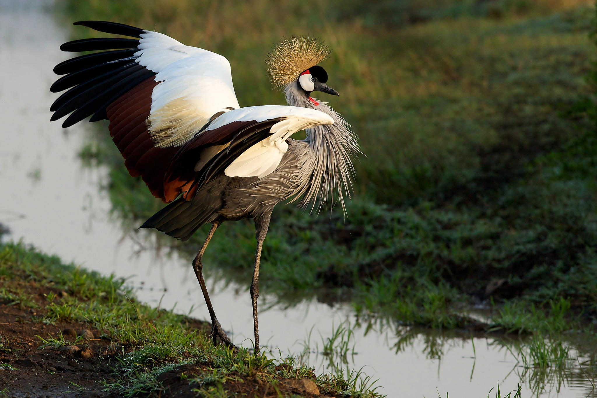 Crowned Crane © Mark Bridger