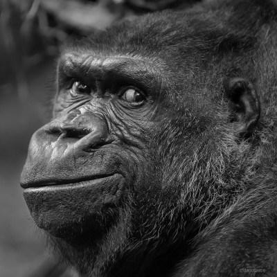 Gorilla © Darío Sastre