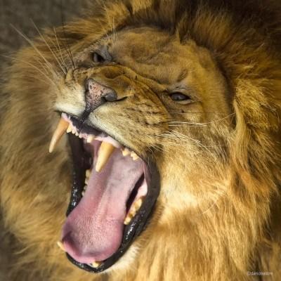 Lion Cabárceno Natural Park © Darío Sastre