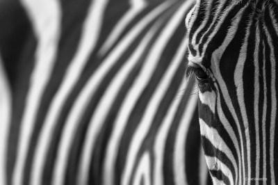 Ojo de cebra © Darío Sastre